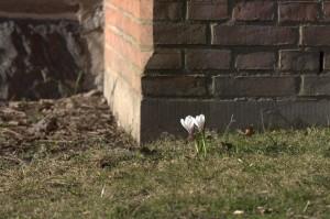 Vit krokus vid en husvägg